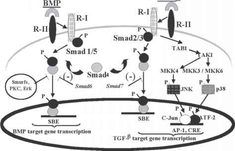 Tgf Beta Signaling Creb